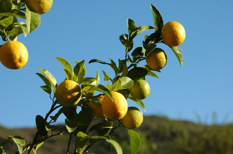 Lemon tree (C) Amada44 CC BY 3